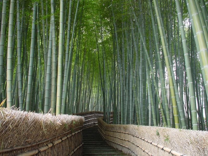 Narrow path through a forest of bamboo.