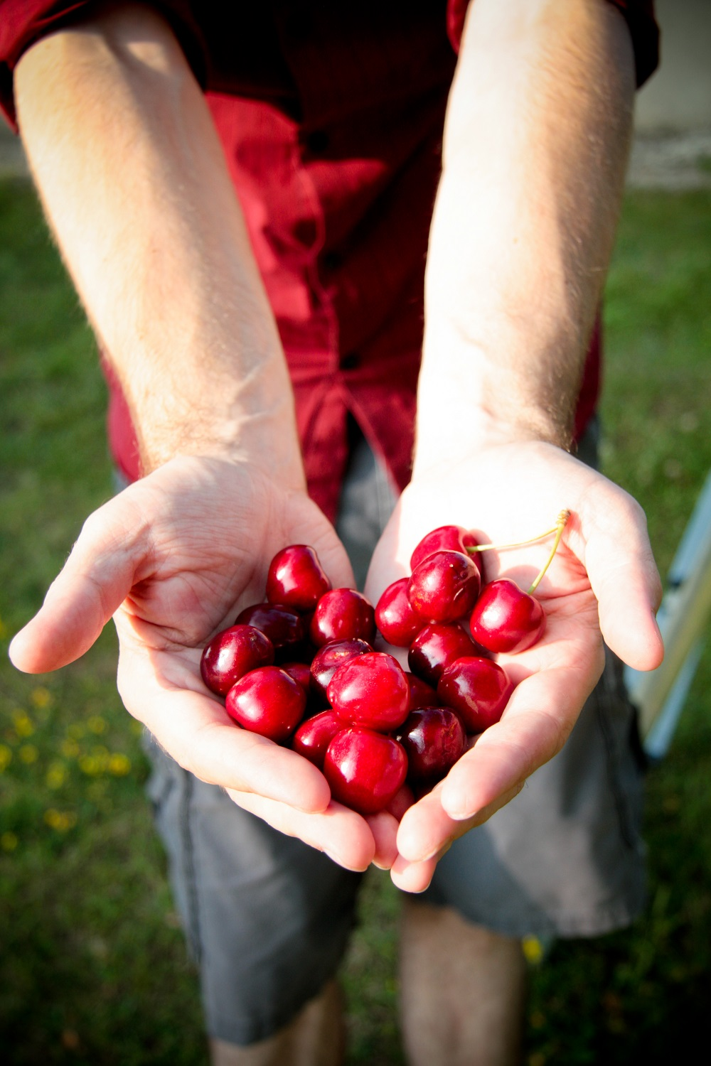 two hands holding cherries